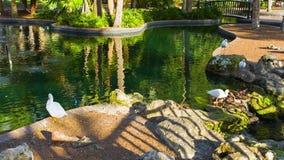 Ibissen in het het meer en park van Eola stock footage