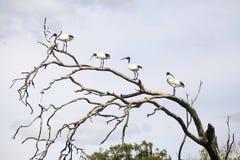 Ibissen op een boom Royalty-vrije Stock Fotografie