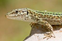 Ibiza Formentera Lizard Royalty Free Stock Image