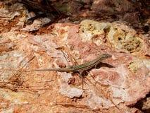 Ibiza Gecko (den Podarcis pityusensisen) Arkivfoton