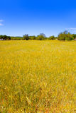 Ibiza island golden wheat fields of mediterranean Stock Image