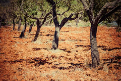 Ibiza island landscape with agriculture fields on red clay soil Stock Photography