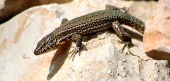 Ibiza Lizard. Ibiza male lizard on rocks Stock Images