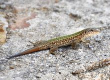 Ibiza Lizard Royalty Free Stock Photography