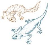 Ibiza väggödla, gemensam leopard eller prickig fett-tailed gecko, exotiska reptilar eller blåa ormar, rött berg, Sinai Royaltyfria Bilder