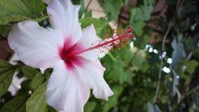 Ibiza vit blomma Arkivfoton