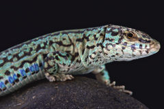 Ibiza wall lizard (Podarcis pityusensis formenterae) Royalty Free Stock Images