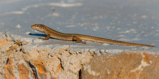 Free Ibiza Wall Lizard Sunning Himself On A Painted Rock Near Shore, Ibiza, Balearic Islands, Spain. Royalty Free Stock Photo - 67379735