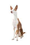 ibizan狗的猎犬 免版税库存图片