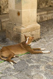 ibizan的猎犬 免版税库存图片