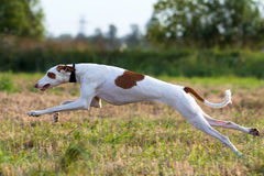 Ibizan Hound. Dog coursing run in field Royalty Free Stock Photography