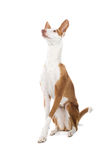 Ibizan Hound Stock Photo