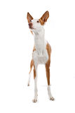 Ibizan hound close up Stock Photo