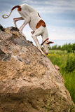 Ibizan Hound dog. Stand on a rock Royalty Free Stock Image