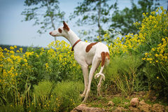 Ibizan Hound dog. Stand in field with yellow flowers Royalty Free Stock Photos
