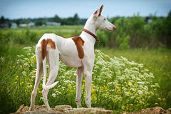 Ibizan Hound dog. Stand on a road in field Stock Image