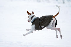 Ibizan Hound dog. In winter Stock Image