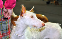 Ibizan Hound dog. The Ibizan Hound is an elegant and agile breed, with an athletic and attractive outline and a ground-covering springy trot Royalty Free Stock Photography