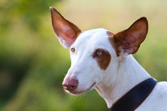 Ibizan Hound dog head. Over green grass Stock Images