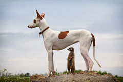 Ibizan Hound dog and meerkat. Stand on a rock Royalty Free Stock Photo