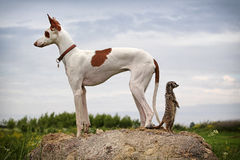 Ibizan Hound dog and meerkat  Royalty Free Stock Photography