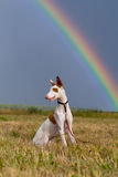 Ibizan hound dog with rainbow. Ibizan hound dog sit in fielld with rainbow Royalty Free Stock Photography