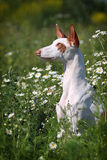 Ibizan Hound dog sit in grass. With chamomiles Royalty Free Stock Photo