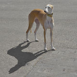 Ibizan Hound. Dog standing on a pavement Stock Images