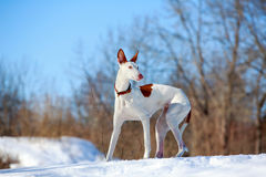 Dog. Ibizan Hound dog in winter Stock Images