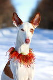 Dog. Ibizan Hound dog in winter Royalty Free Stock Photo