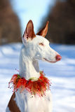Dog. Ibizan Hound dog in winter Stock Image