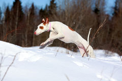 Dog. Ibizan Hound dog in winter Stock Photo