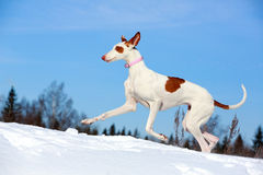 Dog. Ibizan Hound dog in winter Royalty Free Stock Photos