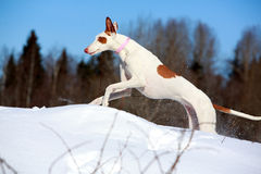 Dog. Ibizan Hound dog in winter Royalty Free Stock Image