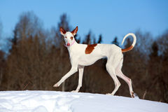 Ibizan Hound dog. In winter Stock Photo