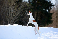 Dog. Ibizan Hound dog in winter forest Stock Photo