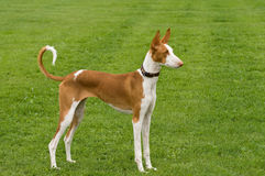 Ibizan Hound Posed. Ibizan Hound standing posed to perfection Stock Photo