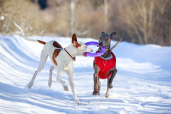 Two dogs. Ibizan Hound and weimaraner dog Royalty Free Stock Photos