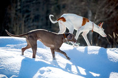 Two dogs. Ibizan Hound and weimaraner dog Royalty Free Stock Photography