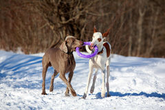 Two dogs. Ibizan Hound and weimaraner dog Royalty Free Stock Photo