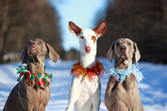 Dogs. Ibizan Hound and weimaraner dog Stock Photo