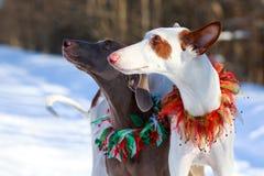 Two dogs. Ibizan Hound and weimaraner dog Stock Photo