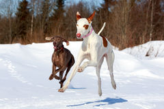 Two dogs. Ibizan Hound and weimaraner dog Royalty Free Stock Images