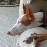Ibizan Hound happy at home. Ibizan hounds are happy and playful family dogs Royalty Free Stock Photography