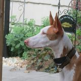 Ibizan Hound happy at home. Ibizan hounds are happy and playful family dogs Royalty Free Stock Photos