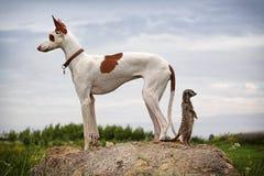 Ibizan Jagdhundhund und meerkat   Lizenzfreie Stockfotografie