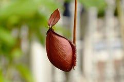 Ibridi del nepente o pianta di lanciatore che pende dal ramo in giardino fotografia stock libera da diritti