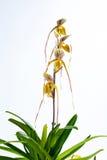 Ibridi dell'orchidea. Fotografie Stock Libere da Diritti