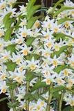 Ibridi dell'orchidea del Dendrobium. Fotografia Stock Libera da Diritti