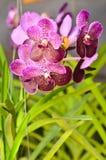 Ibridi dell'orchidea un banch che fiorisce nel giardino Fotografie Stock Libere da Diritti